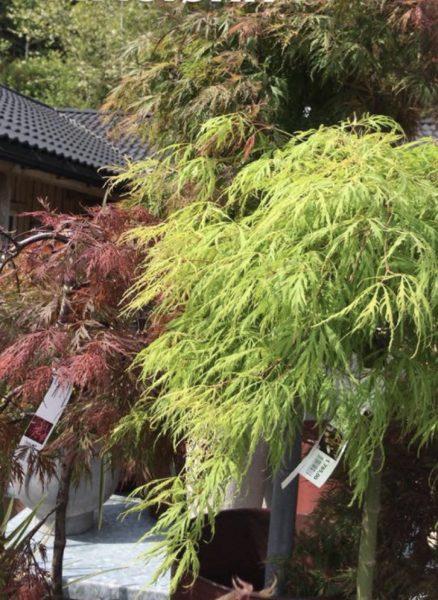 Acer palmatum 'Dissectum' Japansk viftelønn
