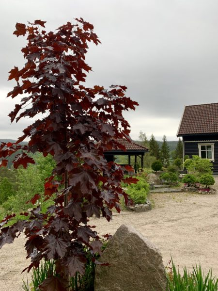 Acer platanoides 'Crimson Sentry' Spisslønn 2