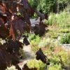 Acer platanoides 'Crimson Sentry' Spisslønn Nærbilde 2
