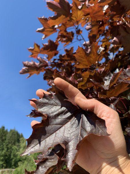 Acer platanoides 'Crimson Sentry' Spisslønn Nærbilde