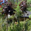 Acer platanoides 'Crimson Sentry' Spisslønn Oppstammet