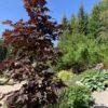Acer platanoides 'Crimson Sentry' Spisslønn