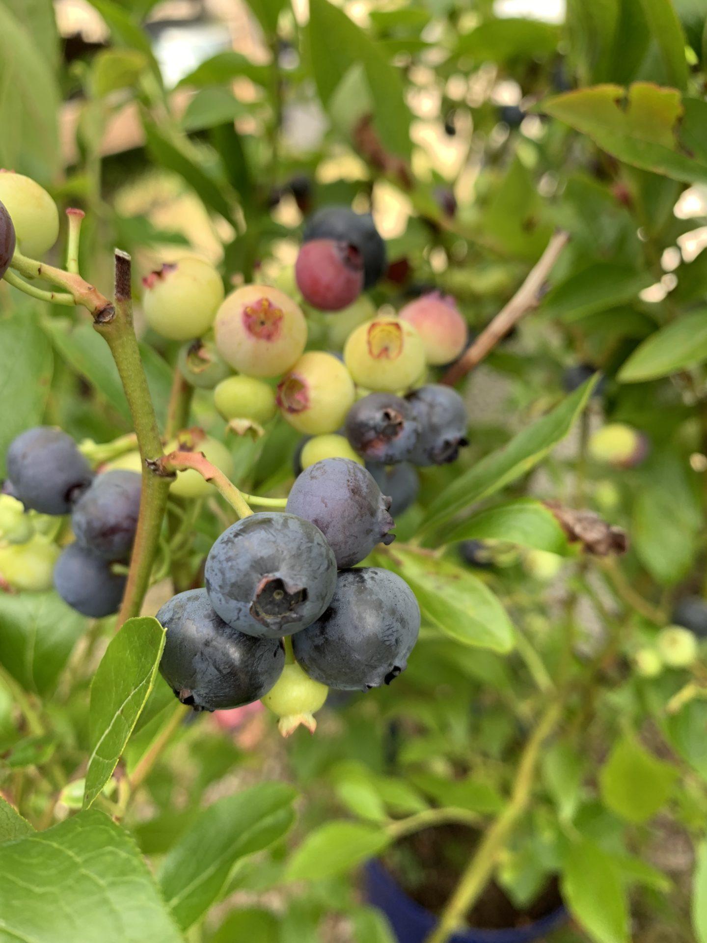 Blåbær 'Ama'