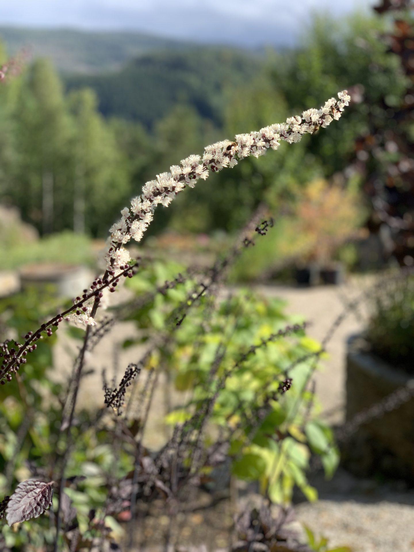 Høstormedrue 'Brunette'