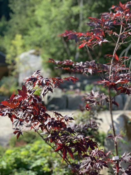 Japansk Viftelønn Acer atropurpureum Dissectum