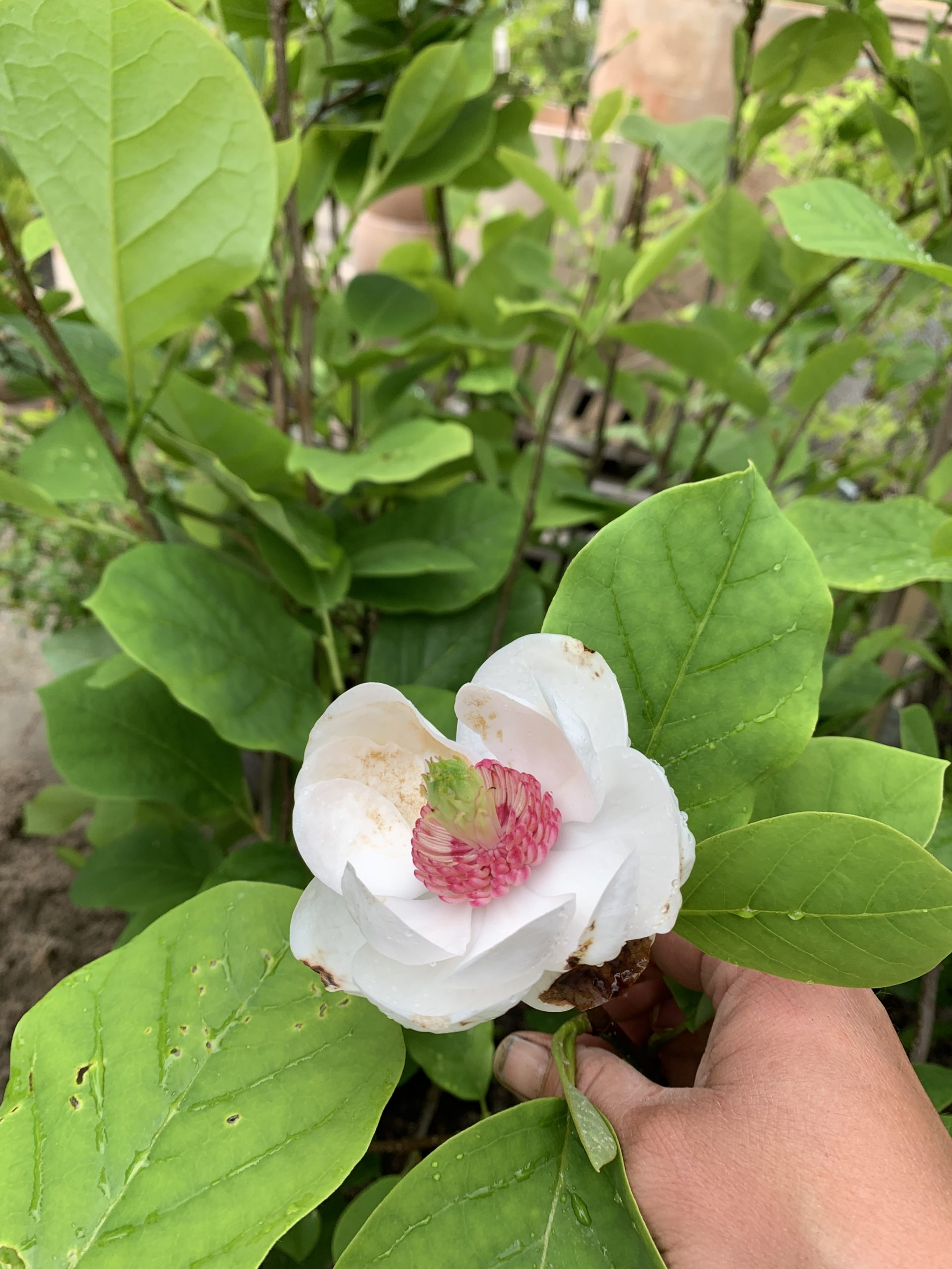 Magnolia Junimagnolia