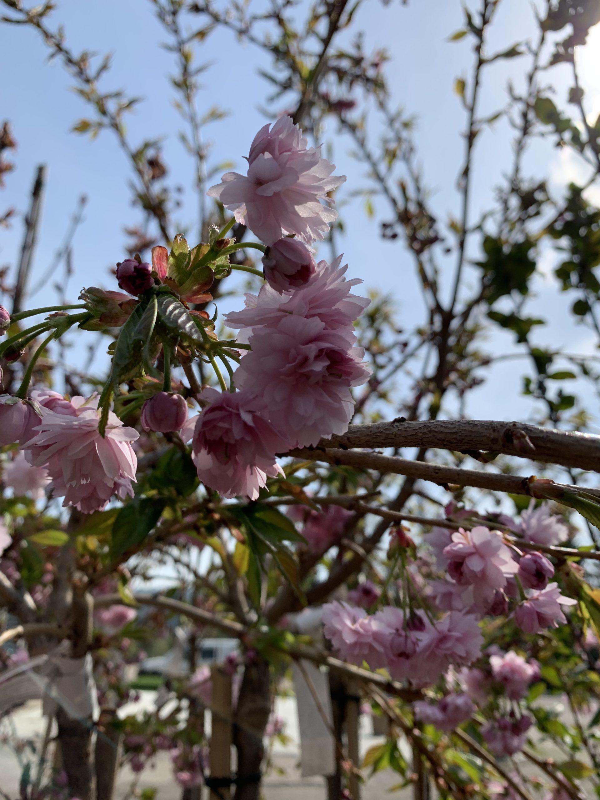 Prydkirsebær 'Kanzan'