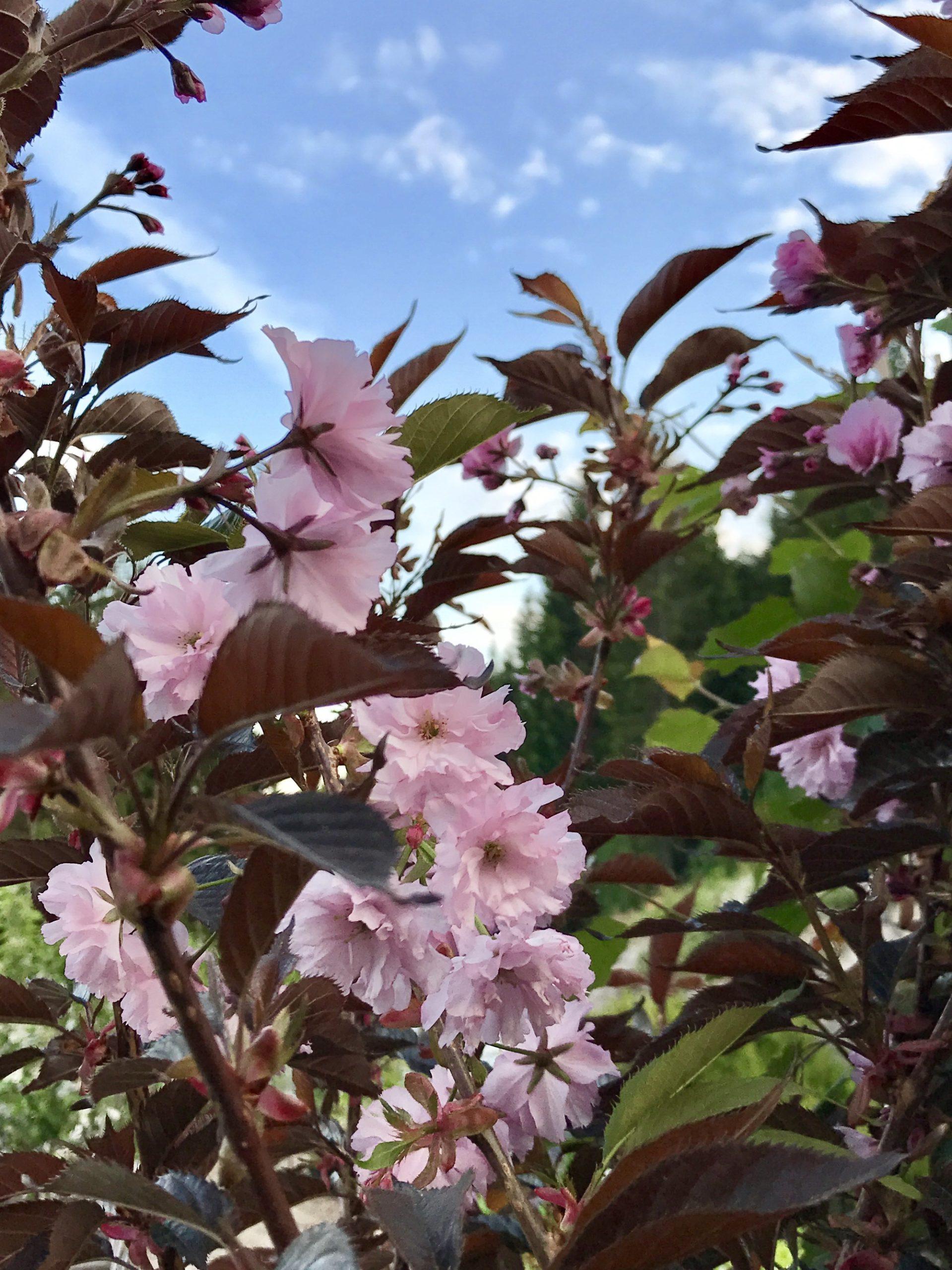 Prydkirsebær 'Royal Burgundy' Flerstammet