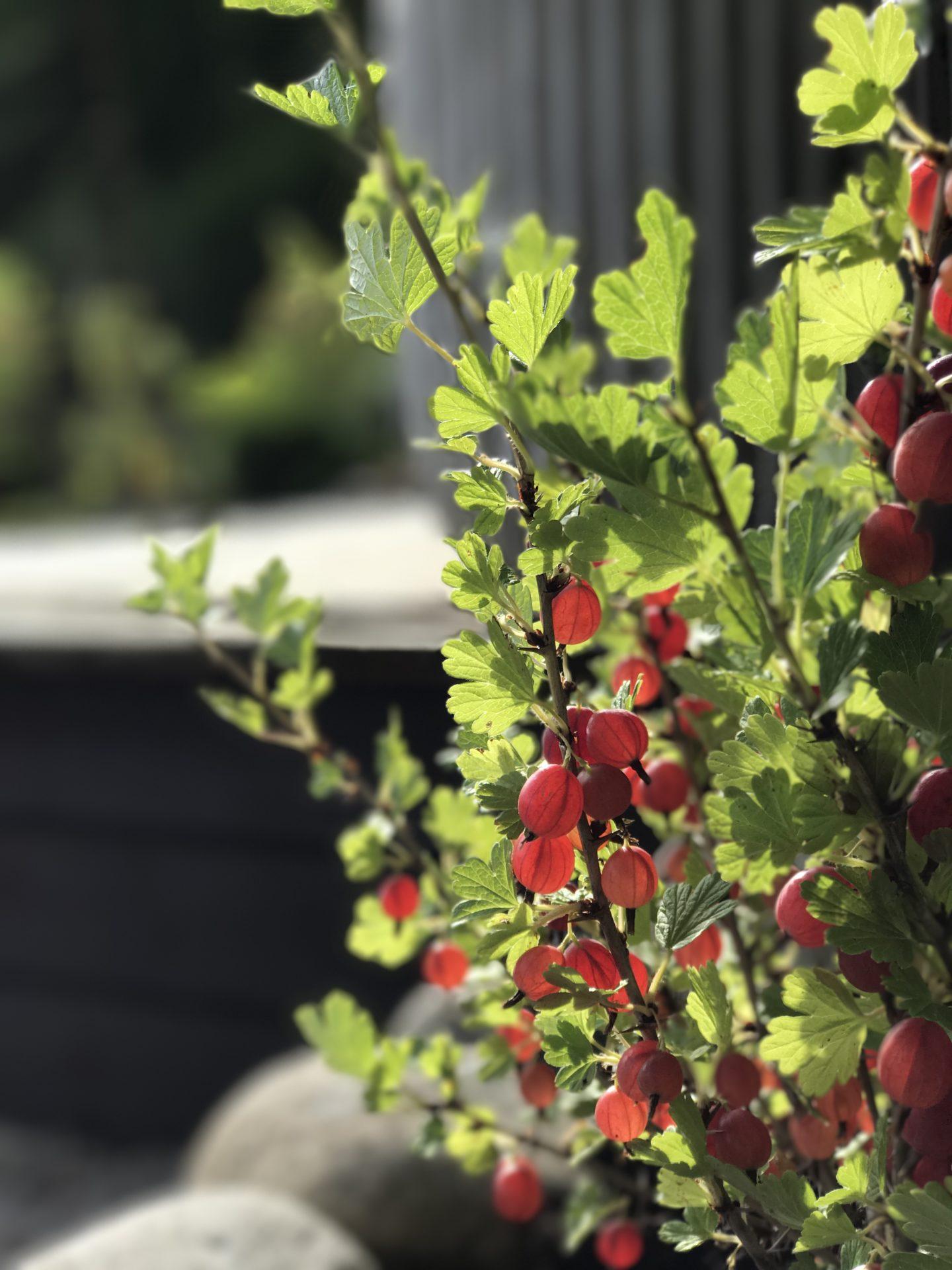 Stikkelsbær 'Hinnomaki Rød'